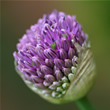 Allium, Flower, Pink